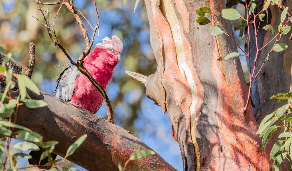 bird watching galah